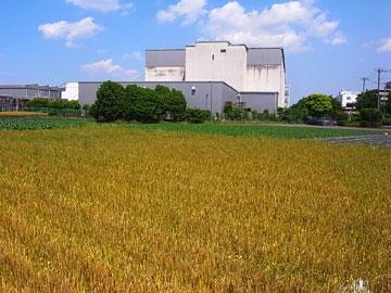 100601wheat.jpg